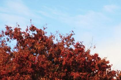 red tree 003.JPG