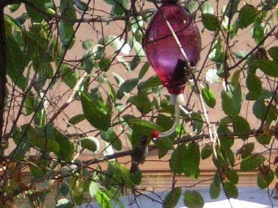 Hummingbird1004